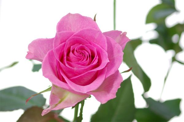 rose-100mm-macro-01