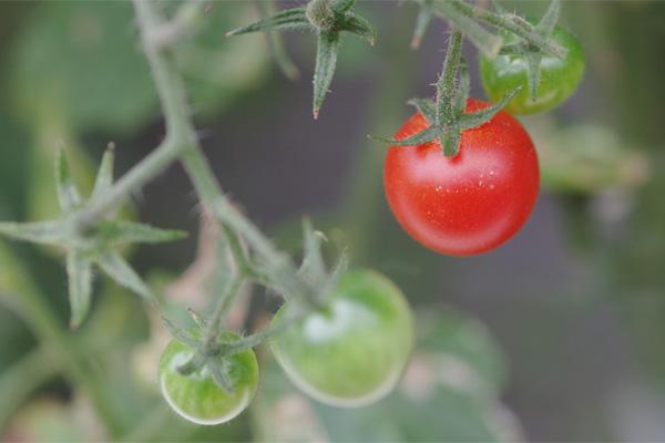 petit-tomato-03R2