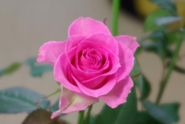 rose-120mmsoft-01