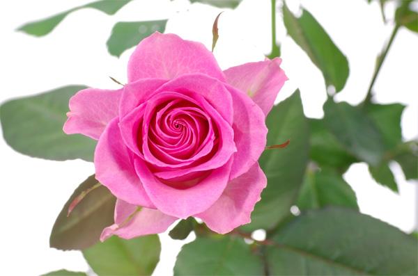 rose-70mm-macro-01