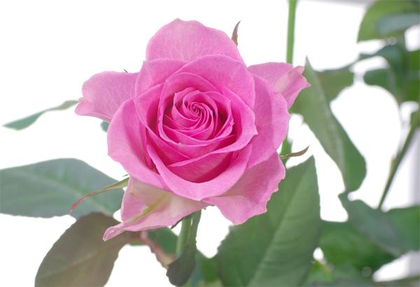rose-85mm-01