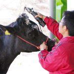 牛の理髪師