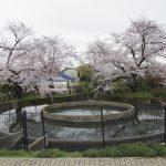久地円筒分水の桜