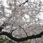 二ヶ領用水~溝の口の桜
