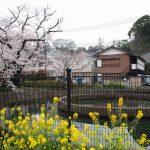 久地円筒分水から二ヶ領用水の桜/2019年3月30日