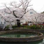 久地の円筒分水の桜(2020年)